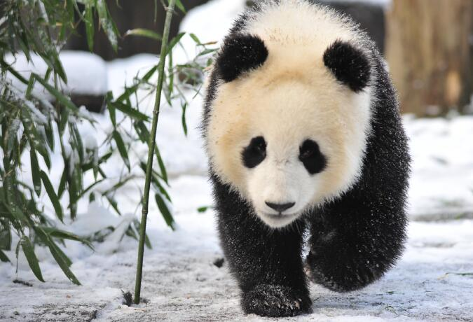8 Day Panda Tracking Adventure in Panda Habitat