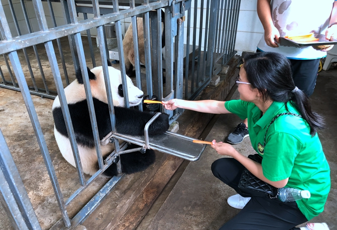 1 Day Panda Volunteer & Exploring Tour