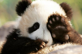 10 Interesting Facts about Giant Panda