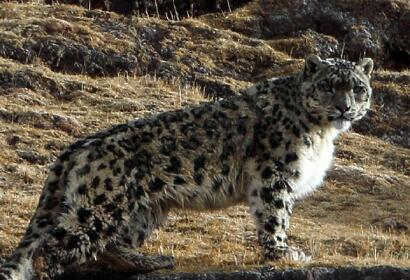 8 Days Snow Leopard Safari