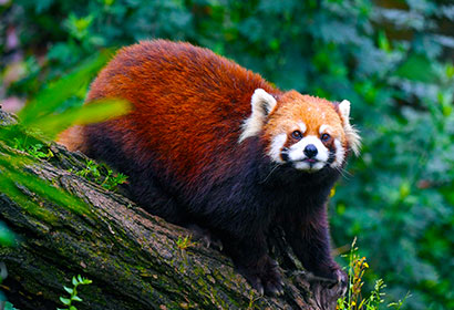 6 Days Wild Red Panda Safari