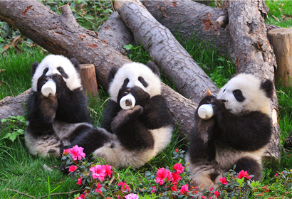 1 Day Panda Base and Chengdu City Tour